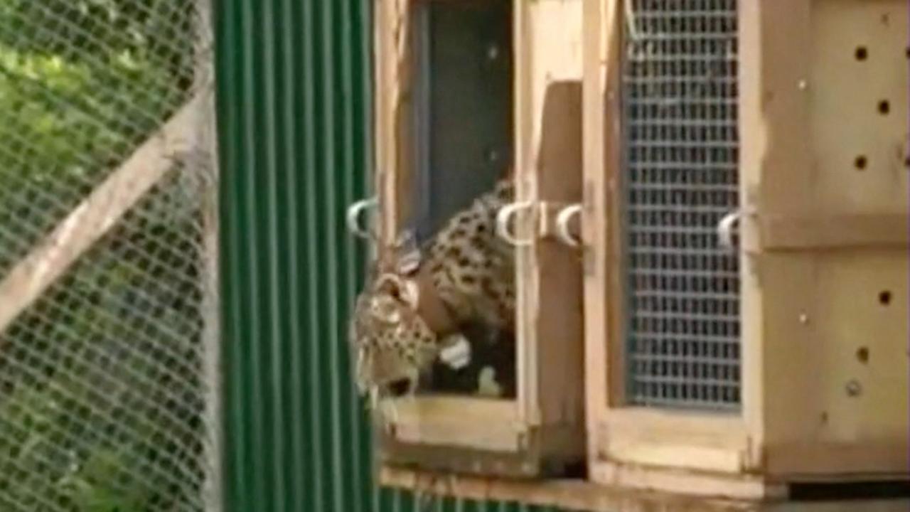 Perzische luipaarden worden vrijgelaten in de Kaukasus