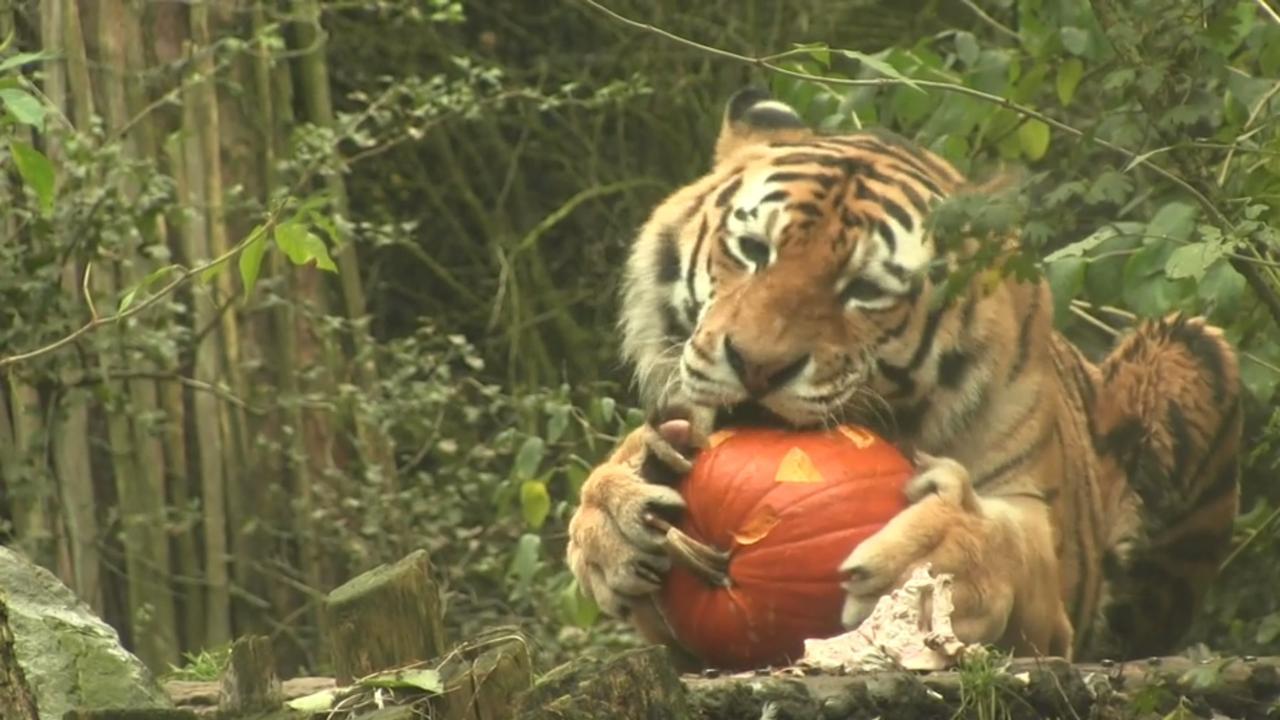 Ook in dierentuinen wordt Halloween gevierd