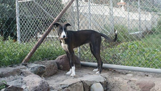 Hond Plankje spoorloos na aanrijding; eigenaar ten einde raad