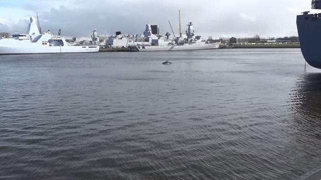 Bultruggen ontdekken afslag Noordzee op reis naar Caraïben