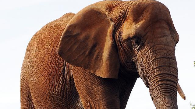 Laatste Afrikaanse olifant van Australië overleden