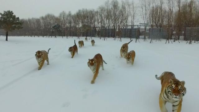 'Te dikke' tijgers vallen af met behulp van drone in China