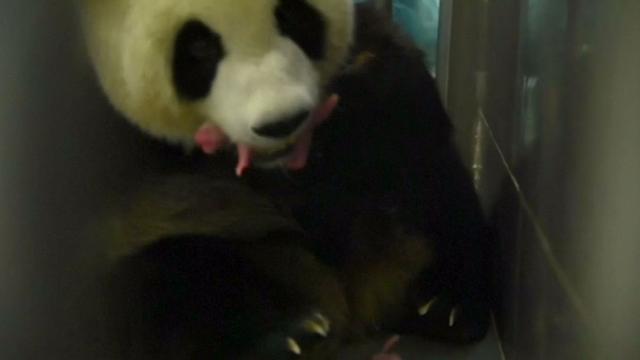 Dierentuin in Macau toont pasgeboren panda's