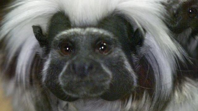 Twee pasgeboren pinché-aapjes in Artis te zien voor publiek