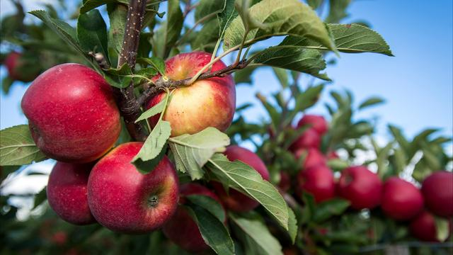 Telers positief over oogsten appels en peren