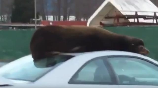 Zeeleeuw rust uit op dak auto in Washington