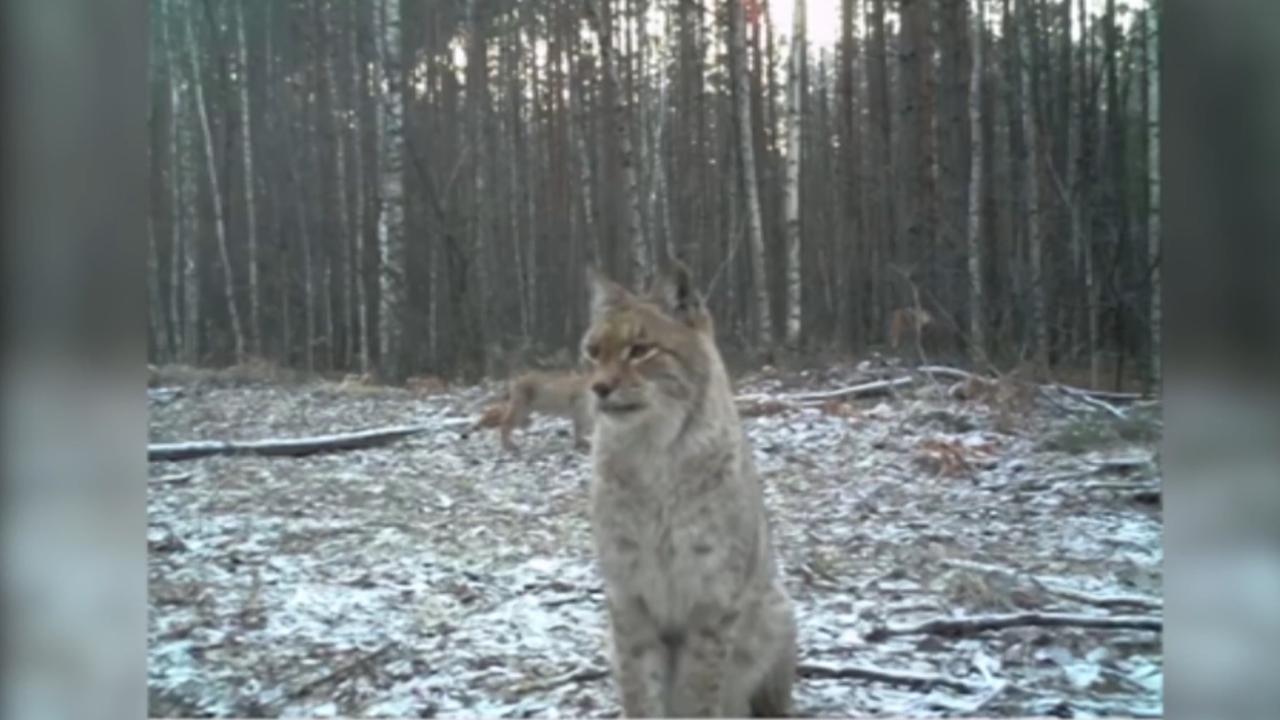 'Roofdieren floreren in radioactieve gebieden Tsjernobyl'