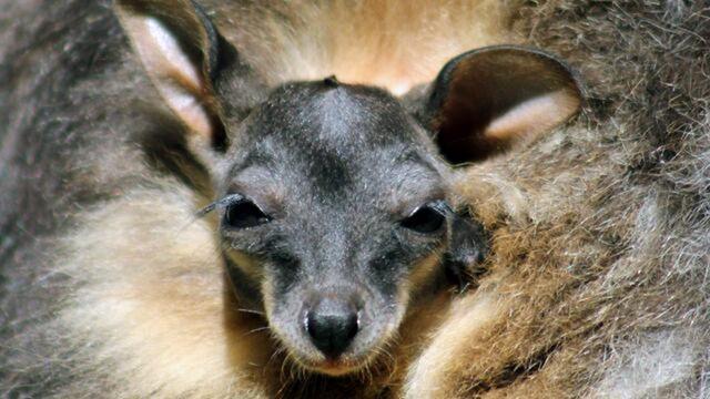 Groep kleine kangoeroes ontsnapt in Overijssel