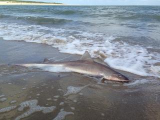 Al tientallen jaren geen haaien gevonden in Zeeuwse branding