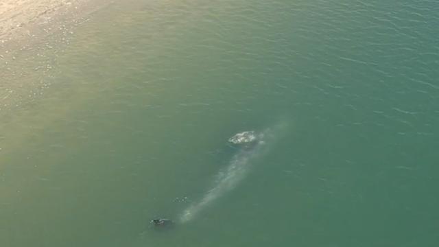 Strandwacht houdt walvis in de gaten aan kust van Californië