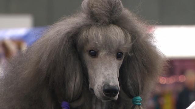 Honden opgedoft voor grote show in Amsterdam