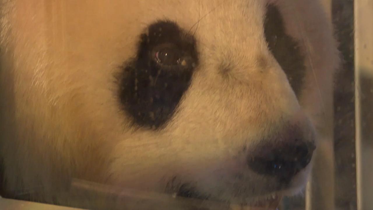 Reuzenpanda's gepresenteerd aan belangstellenden op Schiphol