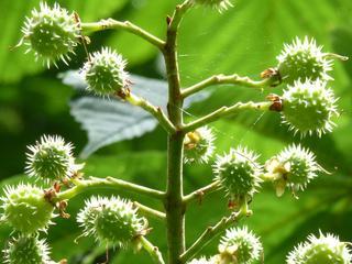 Veel kastanjebomen aangetast met kastanjebloedingsziekte