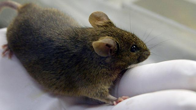 Zikavirus aangetroffen in traanvocht van muizen
