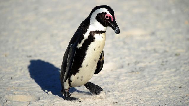 Mannen aangeklaagd voor vrijlaten pinguïn uit dierenpark Zuid-Afrika