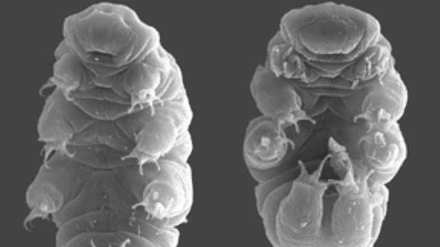 Waterbeertjes weerstaan radioactieve straling met speciaal eiwit