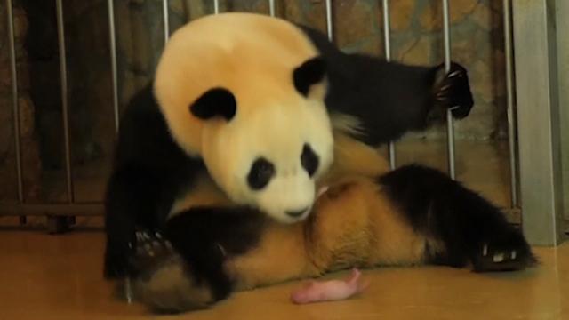 Pandatweeling geboren in onderzoekscentrum China