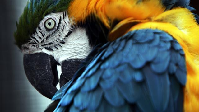 Twee bijzondere ara's ontsnapt tijdens demonstratie in Avifauna