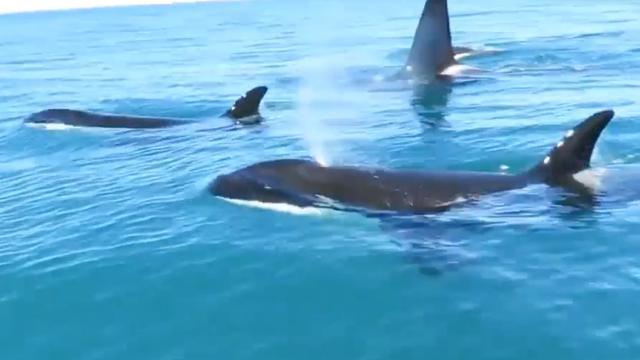 Orka's zwemmen naast jetskiër bij Nieuw-Zeeland
