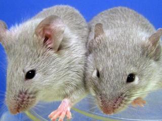 Oude muizen krijgen betere conditie van nieuw middel