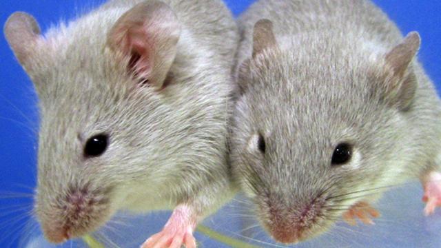 Nederlandse wetenschappers 'verjongen' muizen