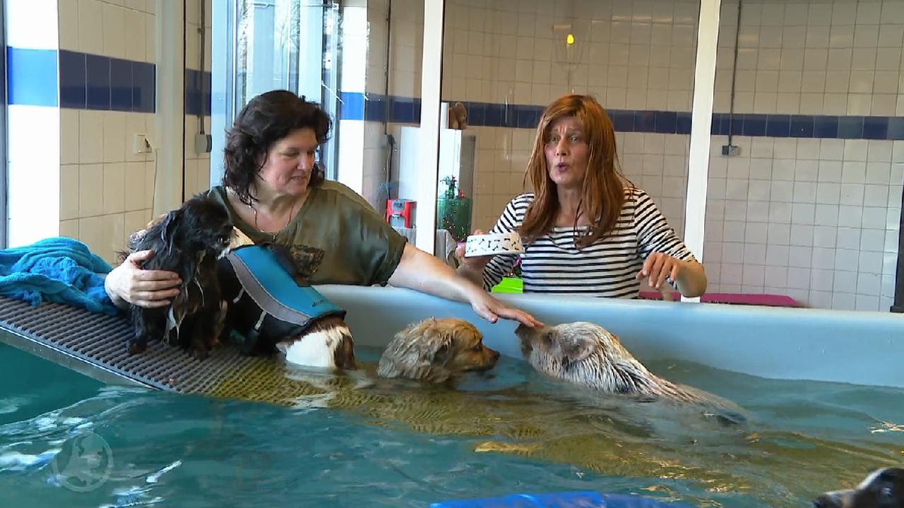 Honden en varken badderen samen in therapeutisch zwembad
