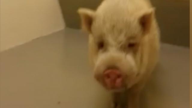 Politie 'arresteert' hangbuikzwijn in De Meern
