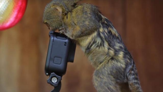 Aapjes in Australisch park ontdekken camera