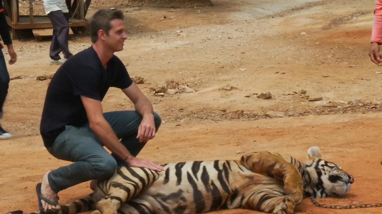 Thaise autoriteiten vinden veertig dode welpen in beruchte tijgertempel