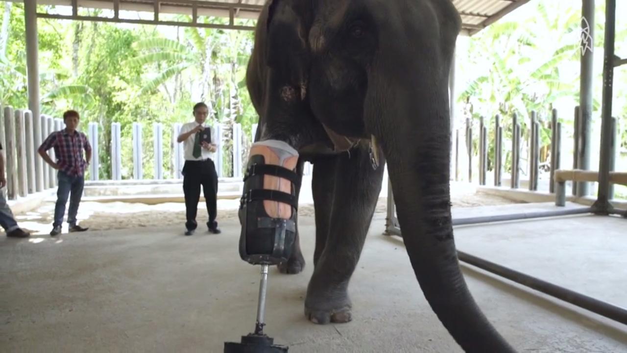 Driebenige olifant krijgt prothese