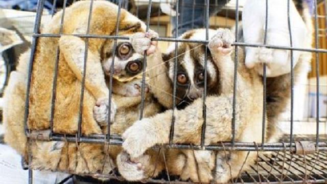 Politie Indonesië bevrijdt 34 zeldzame Plompe lori's van handelaars