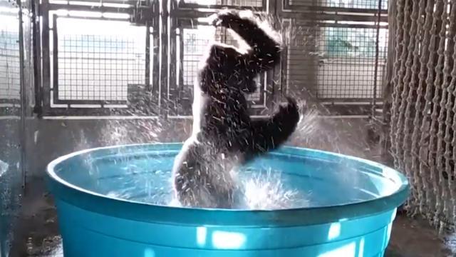 Gorilla 'danst' in bad in dierentuin Texas