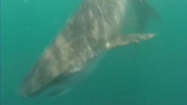 Vissers filmen haaiengevecht in Golf van Mexico
