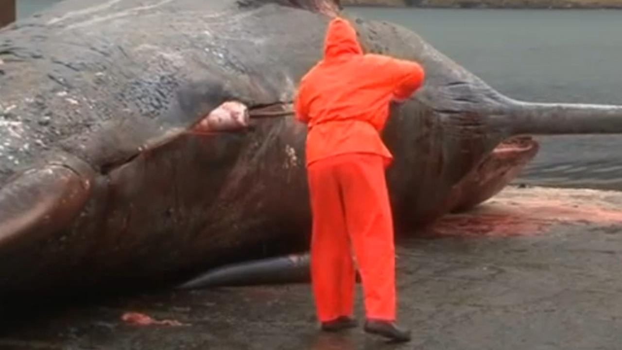 Dode walvis explodeert