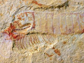 Fossiel toevallig gevonden op een markt in Myanmar