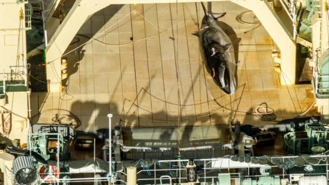 Milieuorganisatie betrapt Japans schip met dode walvis aan boord