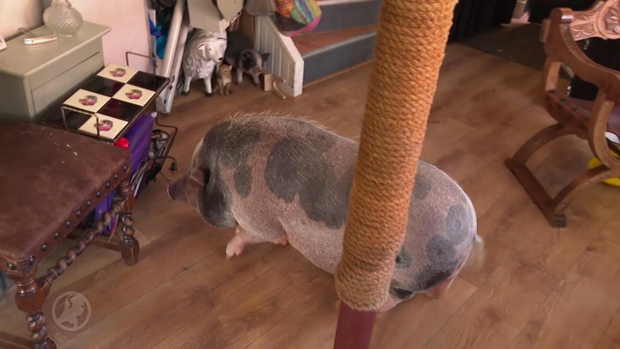 Dit varkentje leeft als een hond