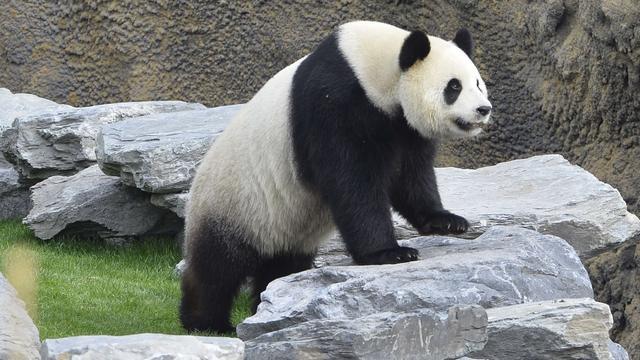 Panda Belgische dierentuin 'zeer waarschijnlijk' zwanger