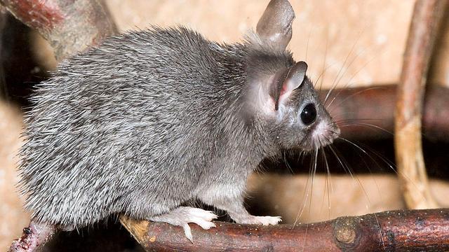 'Muizen waren populair gerecht in steentijd'