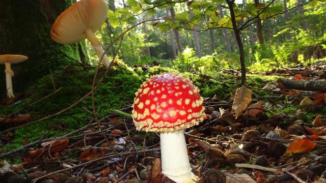 Minder paddenstoelen door hoge temperatuur en droogte