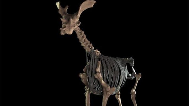 'Primitieve giraffe was grootste herkauwer'