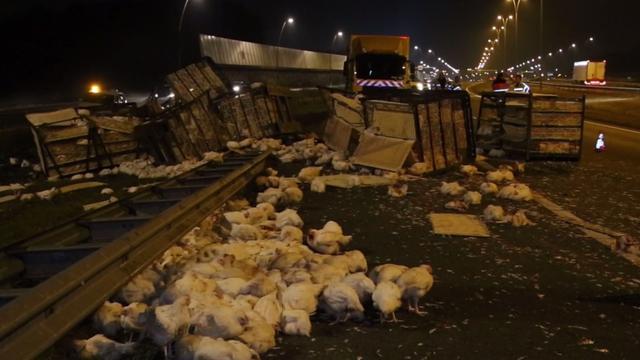 Deel A2 afgesloten na vrachtwagenongeval met drieduizend kippen