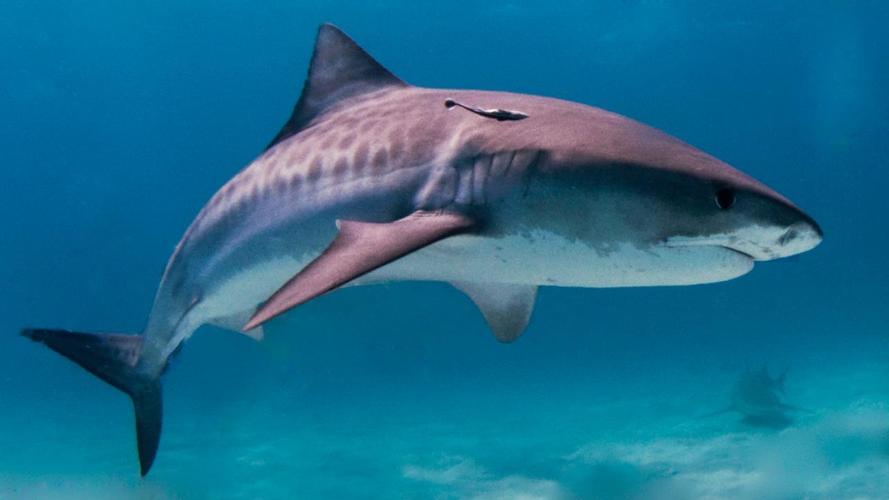 Bizarre beelden: haai eet koe in Indische Oceaan