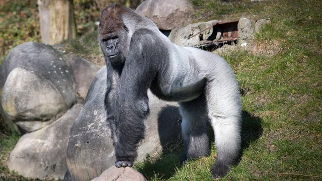 Aanval Bokito tien jaar geleden: Drie ongelukken in dierentuinen