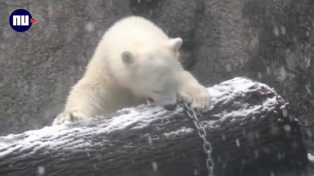 IJsbeer in dierentuin Oregon speelt voor het eerst in de sneeuw