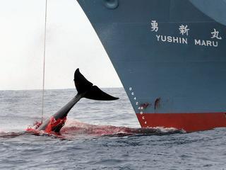 Resolutie werd aangenomen tijdens bijeenkomst van Internationale Walvisvaartcommissie
