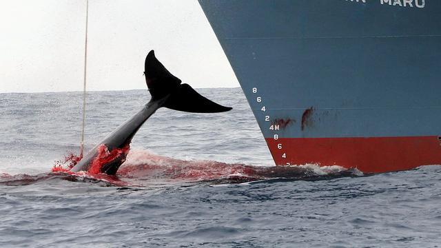 Commissie stemt in met strenger toezicht op Japanse walvisjacht