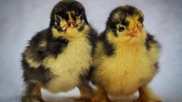 Leids biotechbedrijf herkent nog in het ei haantjes