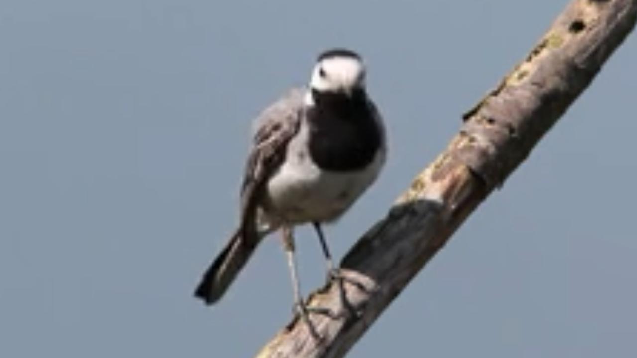 Vogeltje kiest brandstapel uit als broedplek in Dronten