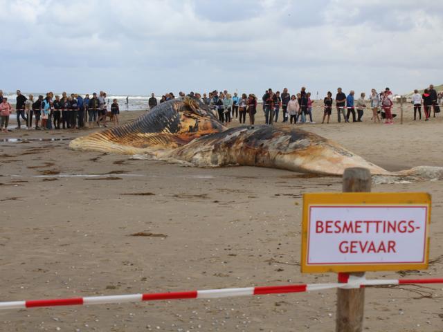 Karkas dode vinvis aangespoeld op Texel